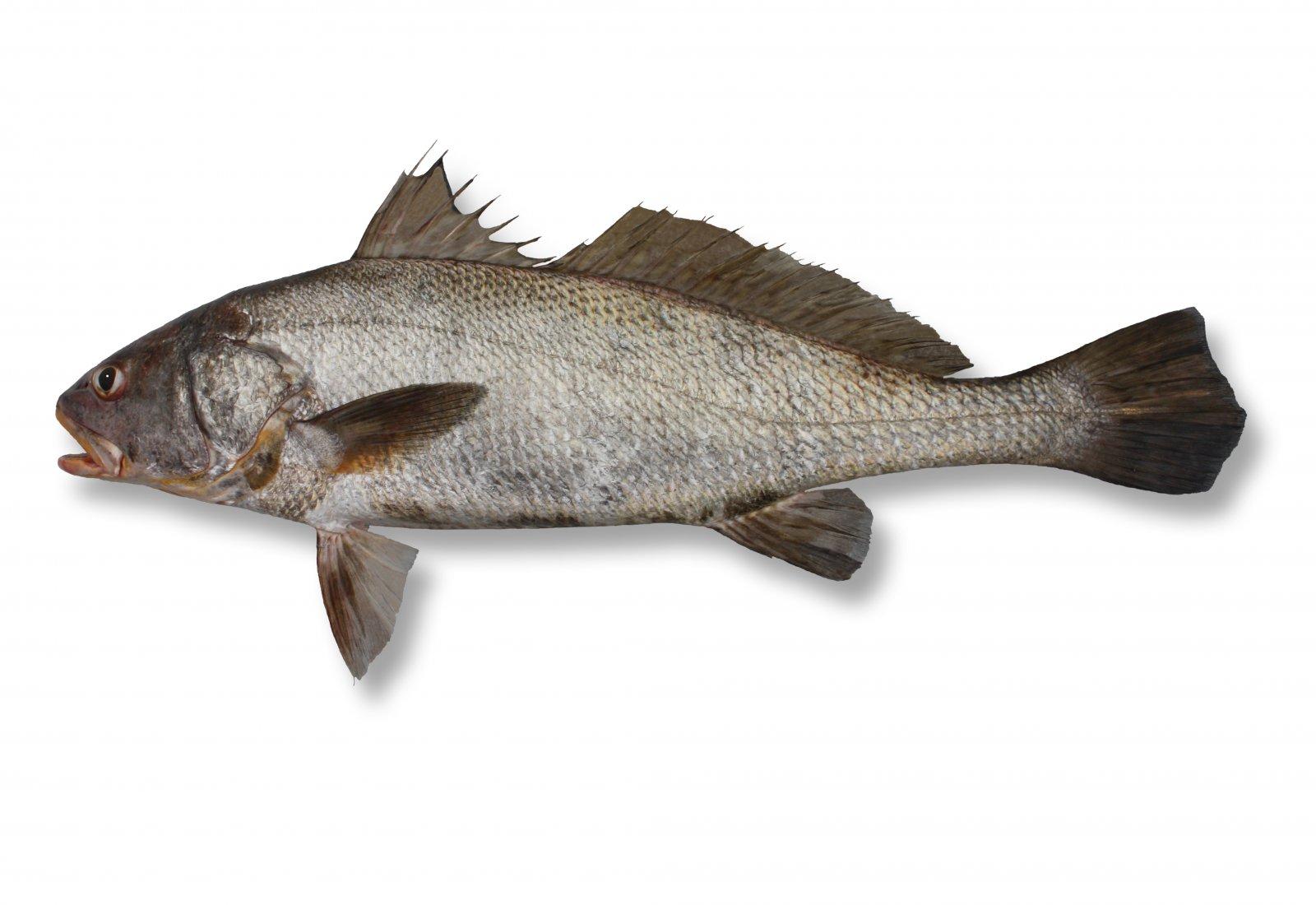 Fish Identification   Suntag