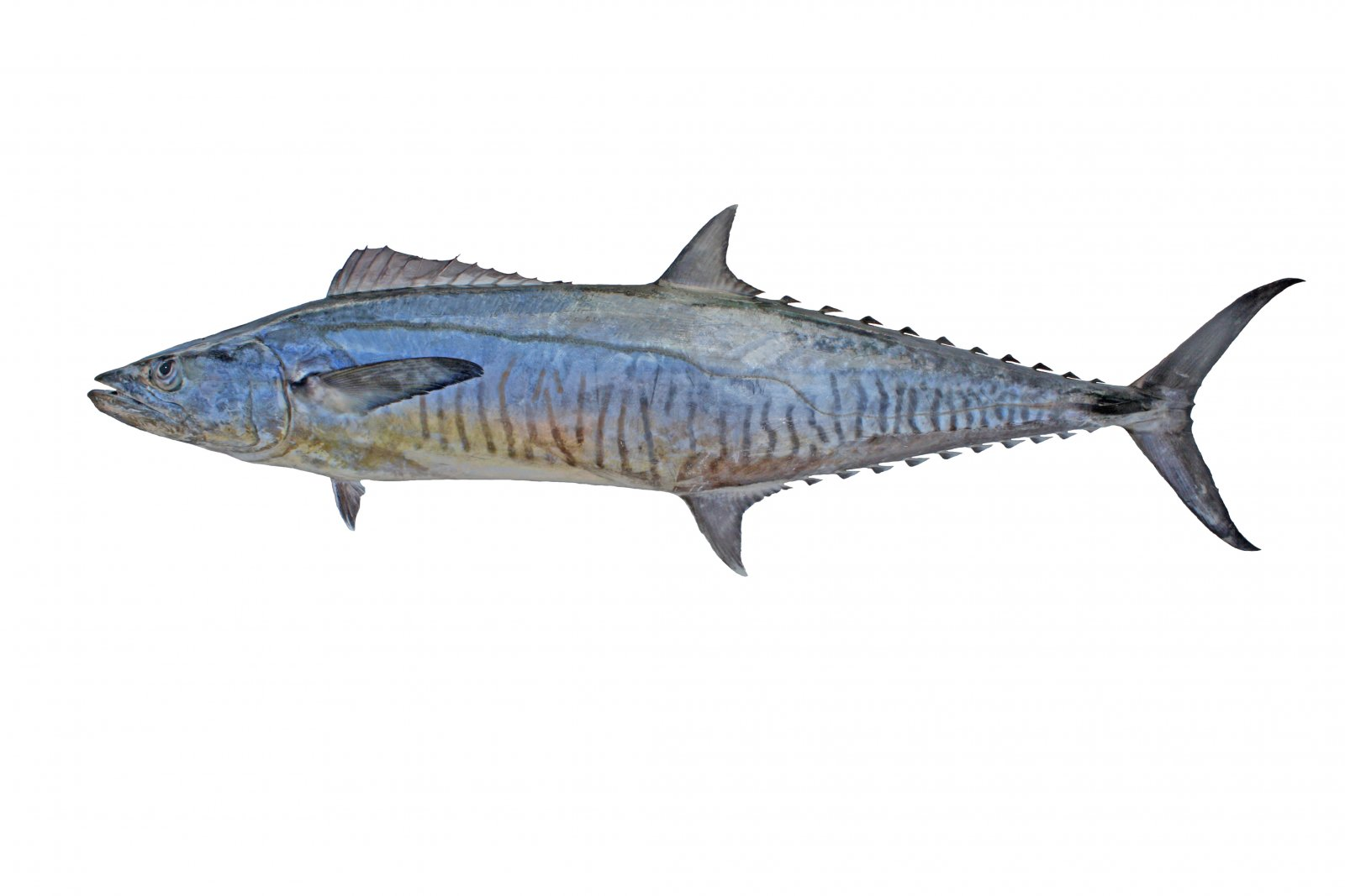 Fish identification suntag for Spanish mackerel fish