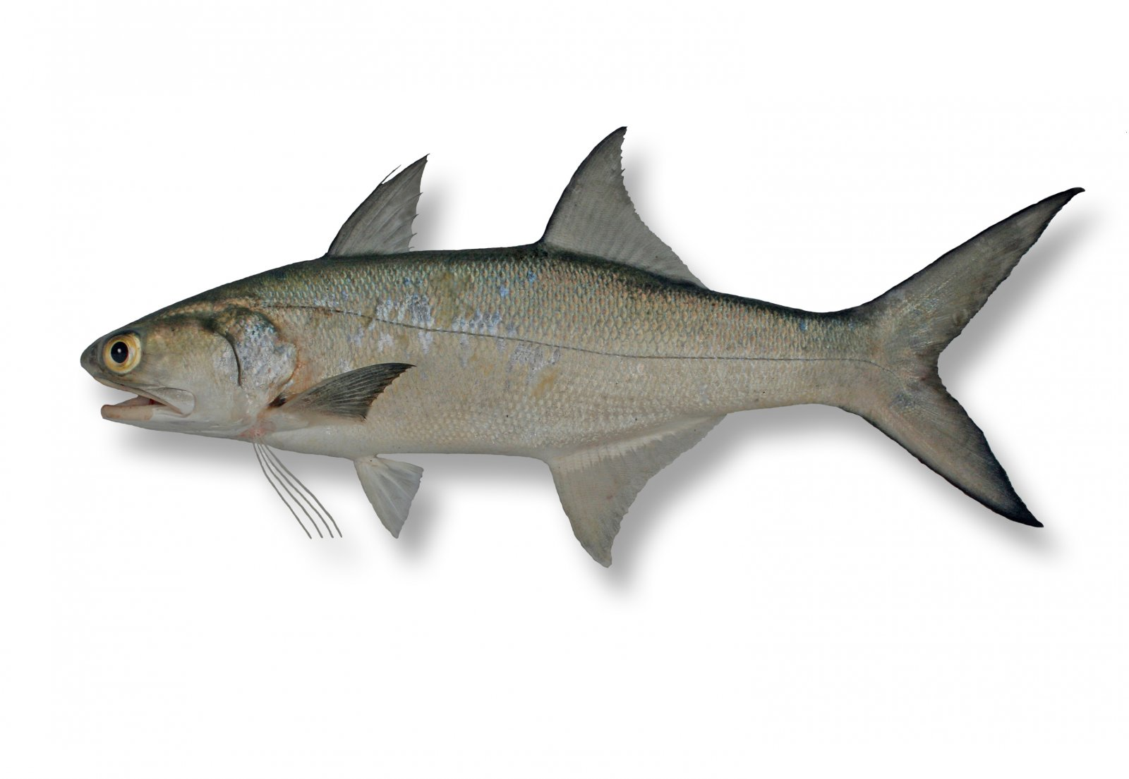 Fish identification suntag for Blue fin fish