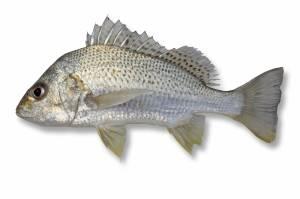 JAVELIN Silver [ Pomadasys argenteus ]