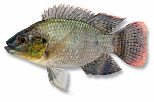 TILAPIA 100mm [ Oreochromis mossambica ]