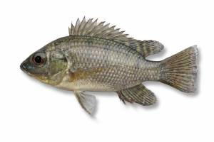TILAPIA 45 mm [Oreochromis mossamica ]