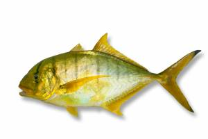TREVALLY golden [ Gnathanodon speciosus ]