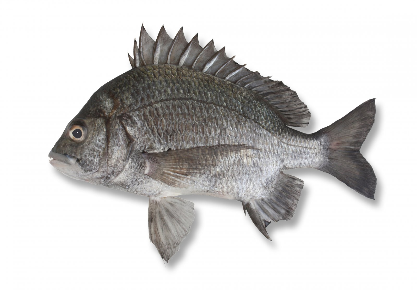 fish and fin bream Talang queen fish arabic name:أسماك orange spotted trevally arabic name: جش النعيمي malabar trevally arabic name:جش صال tow bannded bream.
