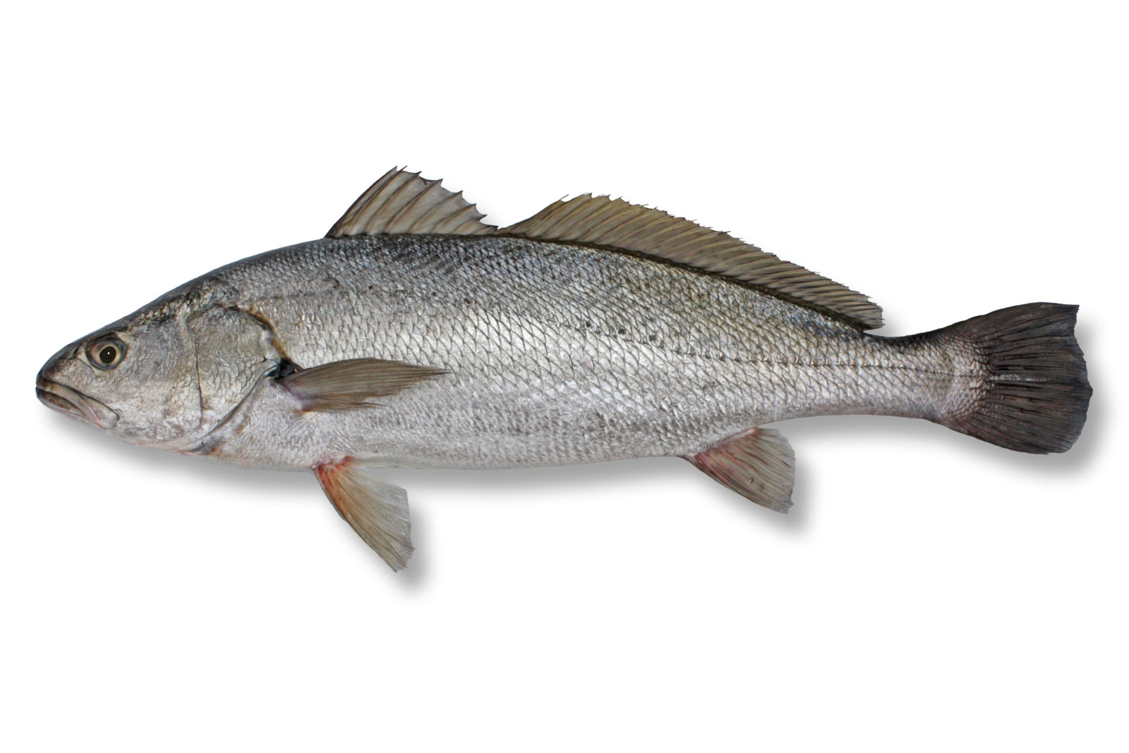 Fish identification suntag for The fish com