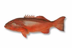 CORAL TROUT Barcheek [ Plectropmus maculatus ]
